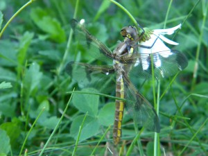 This dragonfly also belongs to the order Odonata. It climbed out of it's exuvia (larval skin) and rested on this flower before pumping up it's wings and flying for the first time.