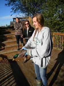 Student volunteer prepares to release a Mallard.