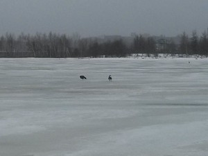 Two Canada geese on the frozen marsh on April 14, 2014.